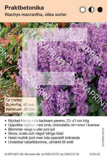 Stachys macrantha (fd grandiflora) (sorter:)