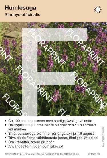 Stachys officinalis