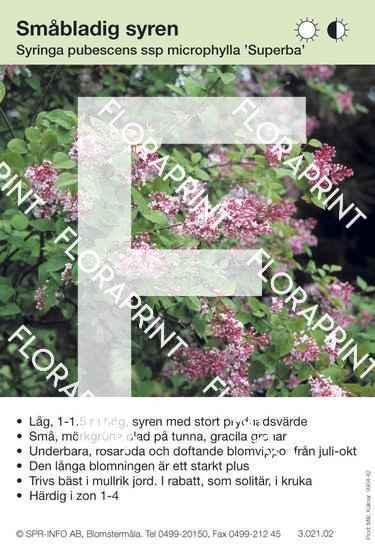 Syringa microphylla Superba