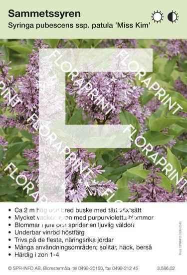 Syringa pubescens ssp patula Miss Kim