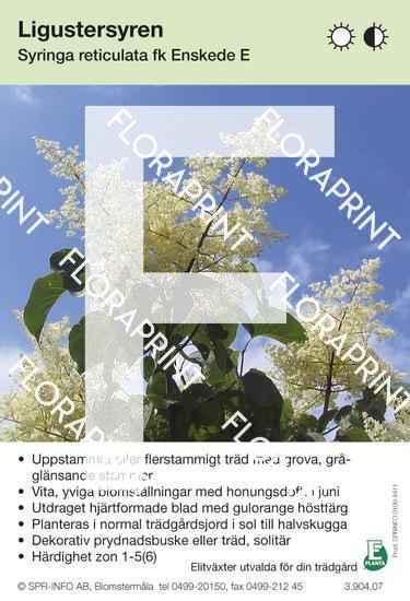 Syringa reticulata Enskede E