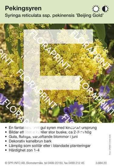 Syringa reticulata ssp pekinensis Beijing Gold