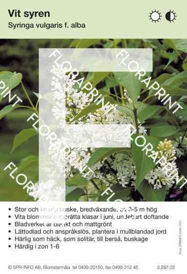 Syringa vulgaris Alba