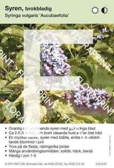 Syringa vulgaris Aucubaefolia