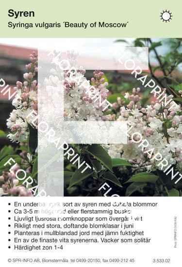 Syringa vulgaris Beauty of Moscow
