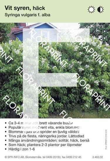 Syringa vulgaris f alba