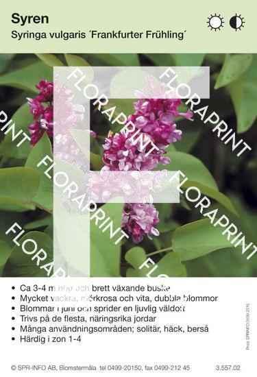 Syringa vulgaris Frankfurter Frühling