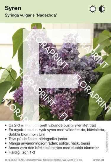 Syringa vulgaris Nadezhda