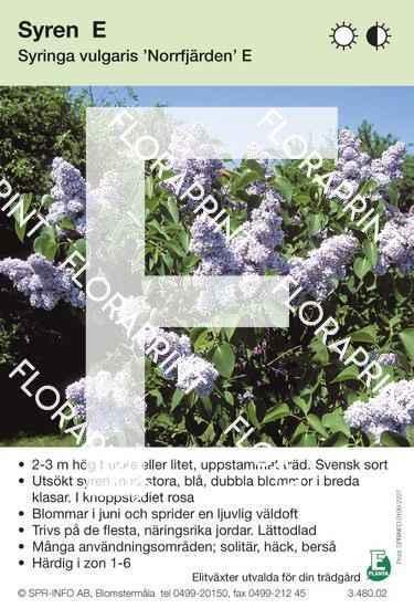 Syringa vulgaris Norrfjärden E