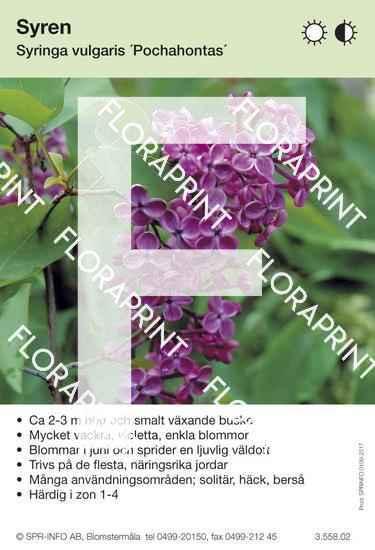 Syringa vulgaris Pochahontas