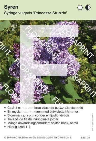 Syringa vulgaris Princesse Sturzda
