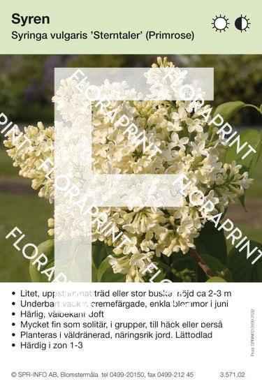 Syringa vulgaris Sterntaler (Primrose)