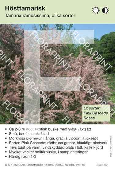 Tamarix ramosissima (sorter:)