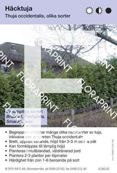Thuja occidentalis allmän (sorter:)