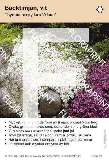 Thymus serpyllum Albus