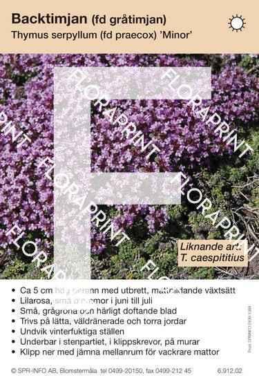 Thymus serpyllum (fd praecox) Minor (likn art:)