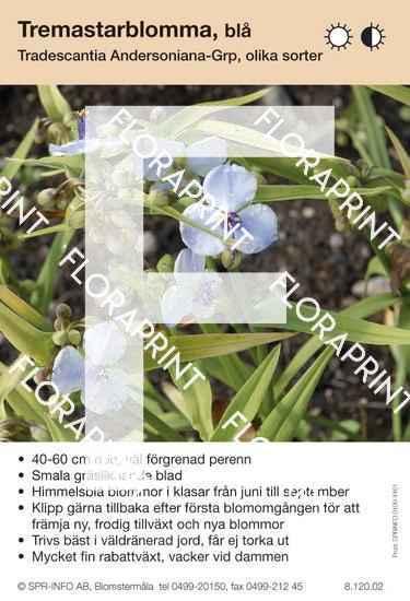 Tradescantia andersoniana allm blå