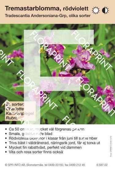 Tradescantia andersoniana allm rödviolett (sorter:)