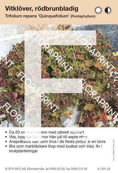 Trifolium repens Quinquefolium
