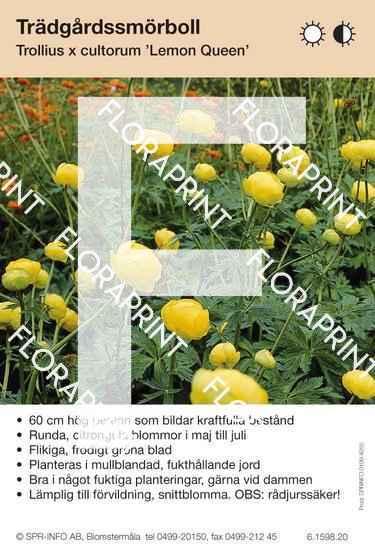 Trollius cultorum Lemon Queen