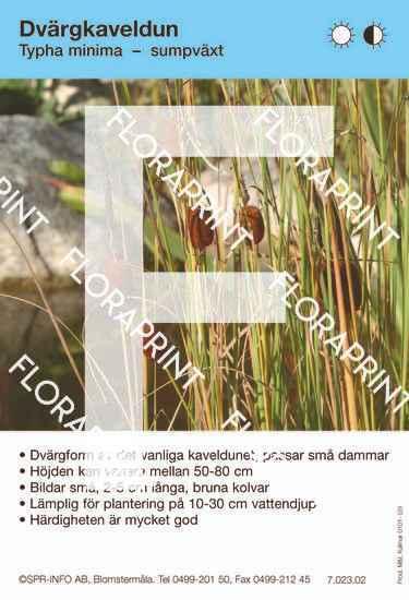 Typha minima