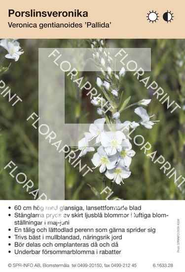 Veronica gentianoides Pallida