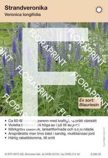 Veronica longifolia (sorter:)