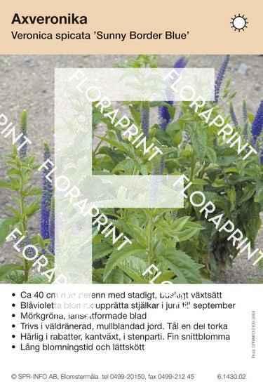 Veronica spicata Sunny Border Blue
