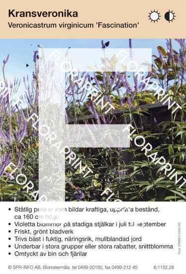 Veronicastrum virginicum Fascination