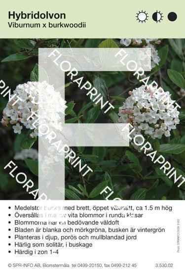 Viburnum burkwoodi