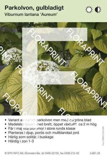 Viburnum lantana Aureum