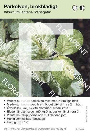 Viburnum lantana Variegata