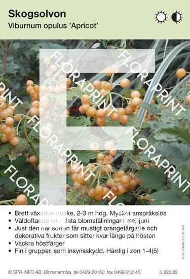 Viburnum opulus Apricot