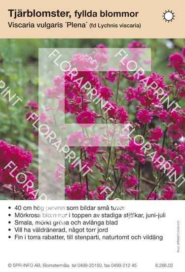 Viscaria (fd Lychnis) vulgaris Plena