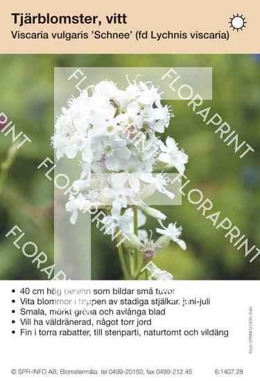 Viscaria (fd Lychnis) vulgaris Schnee
